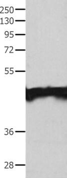Western blot - Anti-MAT1A antibody (ab197363)