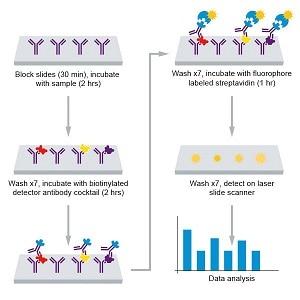 Assay Summary for Abcam Human Th1/Th2/Th17 Antibody Array (20 Targets)- Quantitative (ab197457)