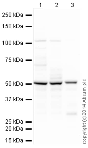 Western blot - Anti-CaMKII antibody [6G9] (HRP) (ab197500)