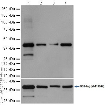 Western blot - Anti-TEAD4/TEF-1 antibody [EPR15629] (ab197589)