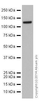 Western blot - Anti-GOLPH4/GPP130 antibody [EPR13439] (ab197595)