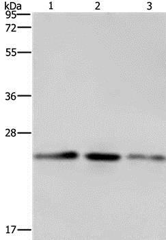 Western blot - Anti-COX4NB antibody (ab197658)