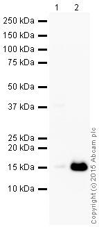 Western blot - Anti-Lysozyme antibody [EPR2994(2)] (HRP) (ab197705)