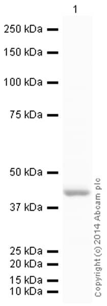 Western blot - Anti-muscle Actin antibody [EP184E] (HRP) (ab197716)