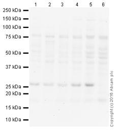 Western blot - HRP Anti-HP1 alpha antibody [EPR5777] - Heterochromatin marker (ab197721)