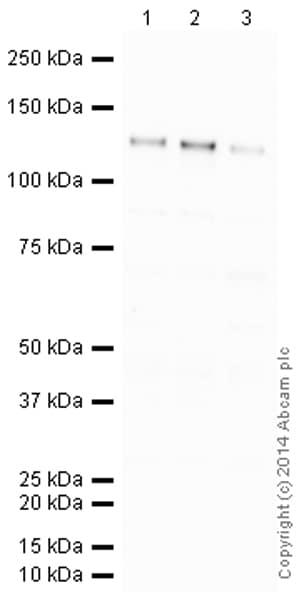 Western blot - Anti-pan Cadherin antibody [mAbcam22744] (HRP) (ab197725)
