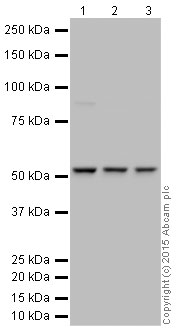 Western blot - HRP Anti-Tubulin antibody [YL1/2] - Loading Control (ab197740)