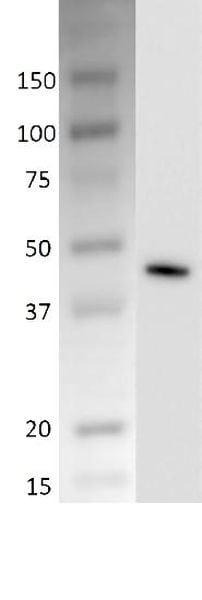 Western blot - Recombinant Dog Creatine Kinase MM protein (ab197789)