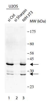 Western blot - Anti-SHARPIN antibody (ab197853)