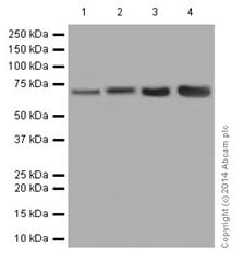Western blot - Anti-Ribophorin I antibody [EPR17044(B)] (ab197888)