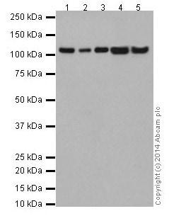 Western blot - Anti-TAOK1 antibody [EPR12908(2)] (ab197891)