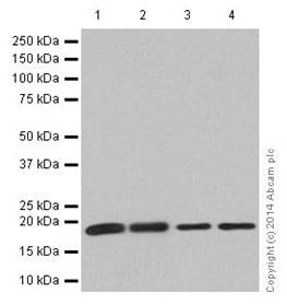 Western blot - Anti-KLLN antibody [EPR16934] (ab197892)