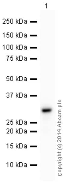 Western blot - Anti-SDHB antibody [21A11AE7] (HRP) (ab197903)