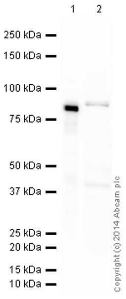 Western blot - Anti-Mitofilin antibody [2E4AD5] (HRP) (ab198037)