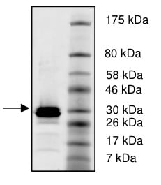 SDS-PAGE - Recombinant Human Histone H4 protein (Tagged) (ab198051)