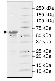 SDS-PAGE - Recombinant Human Phosphoserine Aminotransferase protein (Tagged) (ab198054)