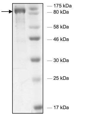 SDS-PAGE - Recombinant human HDAC6 (mutated H611 A) protein (Active) (ab198058)