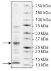 SDS-PAGE - Recombinant human Caspase-9 protein (Tagged) (ab198061)
