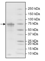 SDS-PAGE - Recombinant human Glutaminase protein (ab198065)