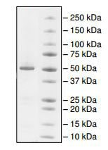 SDS-PAGE - Recombinant human Visfatin protein (ab198090)