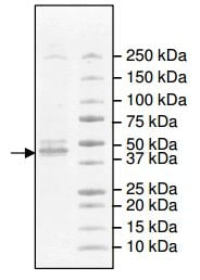 SDS-PAGE - Recombinant human IDH2 protein (ab198092)