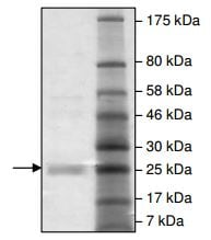 SDS-PAGE - Recombinant Hepatitis C Virus NS3 + NS4A (mutated D168V) protein (ab198098)