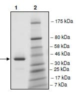 SDS-PAGE - Recombinant human BRDT protein (ab198111)