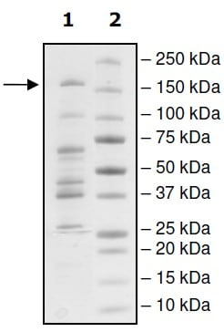SDS-PAGE - Recombinant Human Dnmt3a protein (Tagged) (ab198118)