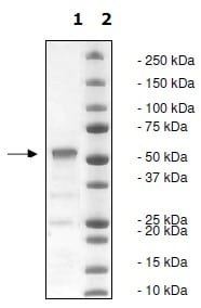 SDS-PAGE - Recombinant human WHSC1/NSD2 protein (Catalytic domain) (ab198120)
