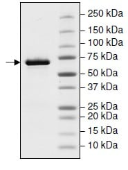 SDS-PAGE - Recombinant Human Hsp70 (mutated Q435 A) protein (His tag) (ab198125)