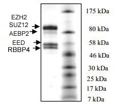 SDS-PAGE - Human EZH2 + EED + SUZ12 + AEBP2 + RBBP4 (mutated Y646 S) full length protein (ab198136)