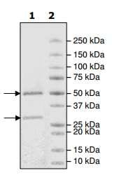 SDS-PAGE - Recombinant human CDK2 + Cyclin A2 protein (ab198143)