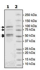 SDS-PAGE - Recombinant human EZH2 + EED + SUZ12 + AEBP2 + RBBP4 protein (ab198146)