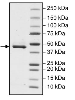 SDS-PAGE - Recombinant human IDH2 (mutated R140 Q) protein (ab198153)