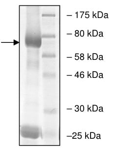 SDS-PAGE - Recombinant human EHMT2/G9A protein (ab198156)
