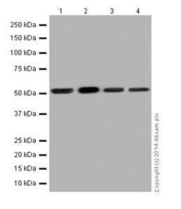 Western blot - Anti-PPP2R5E antibody [EPR17146] (ab198290)