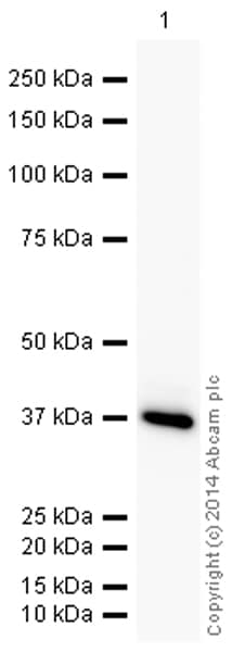 Western blot - Anti-GAPDH antibody [3E8AD9] - Loading Control (HRP) (ab198306)