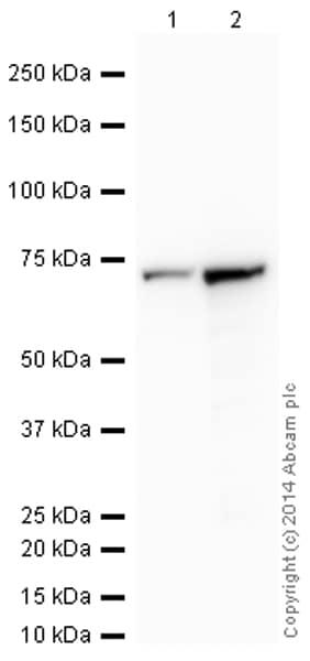 Western blot - Anti-Transketolase antibody [7H1AA1] (HRP) (ab198310)
