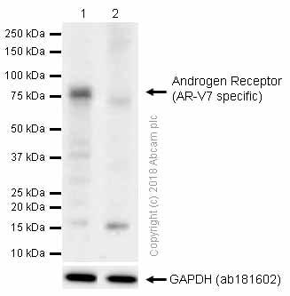 Western blot - Anti-Androgen Receptor (AR-V7 specific) antibody [EPR15656] (ab198394)