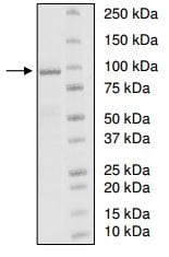 SDS-PAGE - Recombinant human UBE3A protein (ab198417)