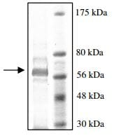 SDS-PAGE - Recombinant rat PDE7A/HCP1 protein (ab198419)