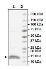 SDS-PAGE - Recombinant Human cbx7 protein (ab198427)