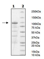 SDS-PAGE - Recombinant human PDE10A protein (ab198428)