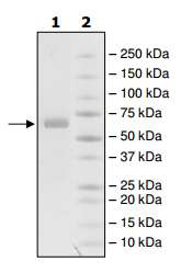 SDS-PAGE - Recombinant human MMP2 protein (ab198429)