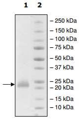 SDS-PAGE - Recombinant Human CD160 protein (Fc Chimera) (ab198433)