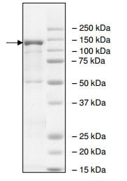 SDS-PAGE - Recombinant rat PDE4D protein (ab198442)