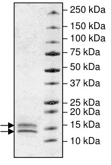 SDS-PAGE - Recombinant human Cleaved Caspase-3 protein (ab198447)