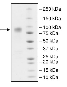 SDS-PAGE - Recombinant Human CD86 protein (Fc Chimera) (ab198448)