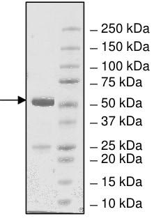 SDS-PAGE - Recombinant <em>E. coli </em> BirA protein (ab198449)