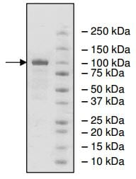SDS-PAGE - Recombinant human PDE1C/PDE1 protein (ab198450)